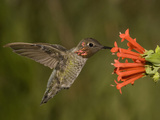 Anna's Hummingbird Male (Calypte Anna) Feeding at a Red Tubular Bouvardia Ternifolia Flower  USA