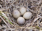 American Woodcock Eggs (Scolopax Minor)