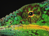 Close Up of a Male Panther Chameleon Eye and Scales (Furcifer Pardalis)