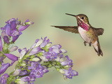 Calliope Hummingbird (Stellula Calliope) Male Flying