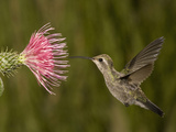 Broad-Billed Hummingbird Juvenile Female (Cynanthus Latirostris) Feeding at a Thistle