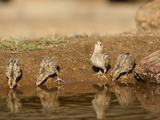 Gambel&#39;s Quail Chicks Drinking at a Waterhole (Callipepla Gambelii)  Arizona  USA