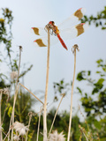 Male Banded Darter Dragonfly (Sympetrum Pedemontanum) in Grass