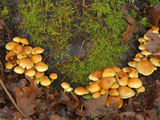 Mop Mushrooms Growing on a Mossy Decaying Stump (Tricholomopsis Sulfureoides)  Pacific Northwest