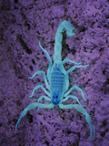 Scorpion (Hottentotta Socotrensis) under Uv Light  Socotra  Yemen