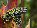 Tiger's Treefrog in a Bromeliad Flower (Hyloscirtus Tigrinus)  Pasto  Depart  Narino  Colombia