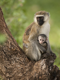 Vervet Monkey (Chlorocebus Pygerythrus) with Young in the Masai Mara Game Reserve  Kenya