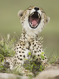 Cheetah (Acinonyx Jubatus) with Open Mouth  Serengeti  Tanzania