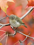 Ruby-Crowned Kinglet (Regulus Calendula) Perched on Maple Tree Branch