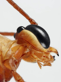 Ichneumon Wasp Showing the Eye and Structures of the Mouth