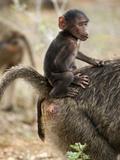 Young Olive Baboon (Papio Anubis) with Mother  Samburu Game Reserve  Kenya  Africa
