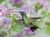 Male Broad-Billed Hummingbird (Cynanthus Latirostris) at Flower