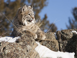 Bobcat (Lynx Rufus) in Rocks Watching for Prey  Western North America