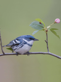 Male Cerulean Warbler (Dendroica Cerulea) Perched on a Branch