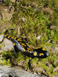 A Young Fire Salamander (Salamandra Salamandra)  Europe