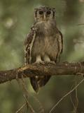 Verreaux Eagle Owl  Bubo Lacteus  Africa