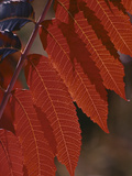 Smooth Sumac (Rhus Glabra) Leaves in Autumn  Front Range  Colorado  USA