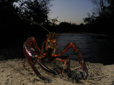 A Red Swamp Crayfish (Procambarus Clarkii) Emerging from Water