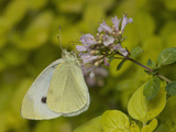Cabbage White Butterfly Nectaring at a Flower (Pieris Rapae)