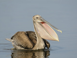 Brown Pelican (Pelecanus Occidentalis) in Juvenile Plumage  Tampa Bay  Florida  USA