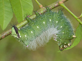 Moth Caterpillar (Eacles Masoni Tyrannus)