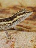 Socotra Rock Gecko (Pristurus Sokotranus)  Socotra Island  Yemen