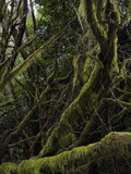The Endemic Laurel Forest (Laurus Canariensis)  La Gomera  Canary Islands  Spain