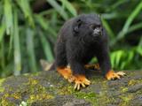 Golden-Handed Tamarin (Saguinus Midas)  Brazil