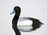 Male Greater Scaup (Aythya Marila) Anchorage  Alaska  USA