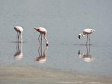 Lesser Flamingo (Phoeniconaias Minor)  Serengeti National Park Tanzania