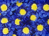 Chrysanthemums with its Blue Dyed Petals Look Striking