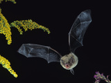 Little Brown Bat  Myotis Lucifugus  in Flight with its Mouth Open to Emit Echolocation Sounds