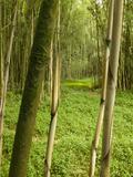 Bamboo Forest  Rwanda