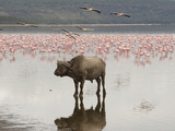 African Buffalo (Syncerus Caffer) Standing in the Water at Lake Nakuru  Samburu  Kenya