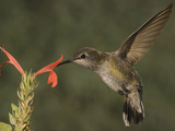Anna's Hummingbird Female (Calypte Anna) Feeding at a Red Tubular Justicia Candicans Flower  USA