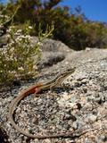 Large Psammodromus (Psammodromus Algirus)  Portugal