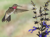 Broad-Tailed Hummingbird (Selasphorus Platycercus) Male Flying at Salvia (Salvia Guaranitica)