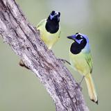 A Pair of Green Jays (Cyanocorax Yncas) Courtship Feeding  Texas  USA