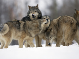 Gray Wolf Group (Canis Lupus)  Montana  USA  Controlled Situation