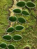 Vine Growing on a Rainforest Tree  Danum Valley Conservation Area  Sabah Borneo  Malaysia
