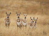 Pronghorn (Antilocapra Americana) Group Standing in a Field in Yellowstone National Park  USA