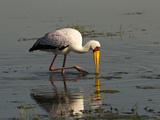 Yellow-Billed Stork (Mycteria Ibis) Feeding  Lake Nakuru  Lake Nakuru National Park  Kenya