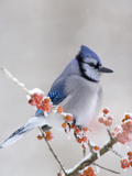 Blue Jay (Cyanocitta Cristata) in Icy Berries