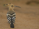 African Hoopoe  Upupa Epops  Kenya  Africa