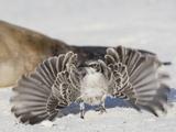 Hood Mockingbird Territorial Display (Mimus Macdonaldi)  Gardner Bay  Galapagos