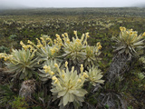 Frailejon (Espeletia) in the High Altitude Grasslands of Puracâ» National Park  Department Cauca