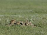 Black-Tailed Prairie Dog (Cynomys Ludovicanus)  Montana  USA