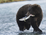 Brown Bear (Ursus Arctos) with Salmon (Salmonidae)  Geographic Harbor  Katmai National Park