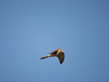 Greater Kestrel Flying (Falco Rupicoloides)  Serengeti National Park  Tanzania