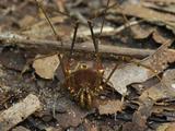Cosmetid or Harvestman  an Arachnid on the Forest Floor (Cosmetidae  Order Opiliones)